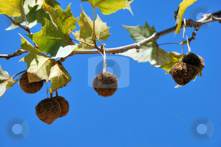 Plane Tree Fruit stock photo, Plane tree fruits on a branch against blue sky by Denis Radovanovic
