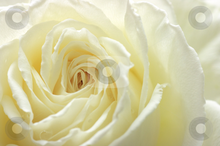 White rose close-up stock photo, An extreme close-up of a wedding rose by Natalia Macheda