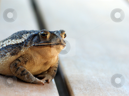 Bull Frog stock photo, A large green and brown toad sitting out side by Sam Sapp