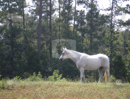 White Horse stock photo, A white horse standing in the field by Sam Sapp