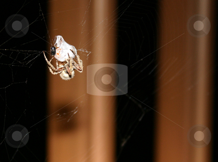 Spider eating stock photo, A brown spider wrapping a bug in a web by Sam Sapp