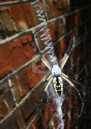 Banana Spider stock photo, A banana spider sitting on it's web by Sam Sapp