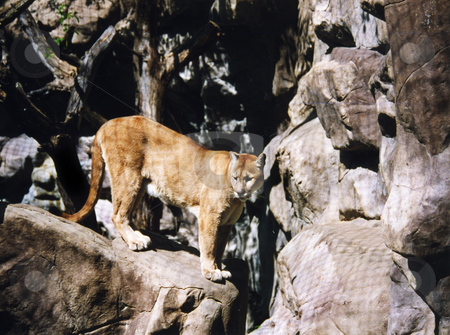 Large Cougar stock photo, A large Cougar watching from the rocks by Sam Sapp