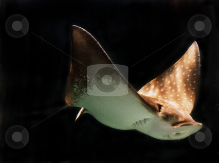 Sting Ray stock photo, A sting ray swimming thorugh the water by Sam Sapp