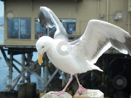 A seagull with its wings spread stock photo, This is a photo of A seagull with its wings spread, the photo was taken at the end of a peer and is a excellent action shot. The photo is high quality (8 megapixels) and has alot of potential by Andy C