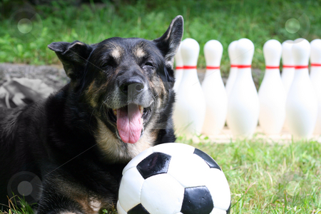 Sportsdog stock photo, A dog playing with a ball ouside on the lawn by Petr Koudelka