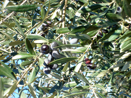 Olive tree stock photo, Olive tree on shiny day detail for background by EVANGELOS THOMAIDIS