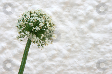 Garlic flower stock photo, White garlic blossom against white wall with copyspace by EVANGELOS THOMAIDIS