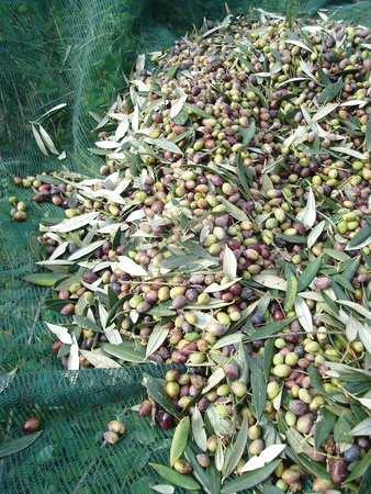 Harvest olives stock photo, Harvest of olives on green net  agiculture production by EVANGELOS THOMAIDIS