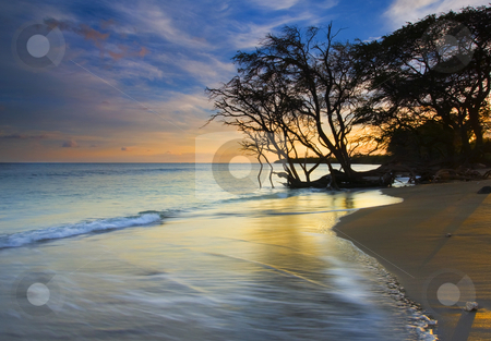 Seashore at sunset stock photo, A gnarled banyan tree reaching for  drink along the beach near Lahaina on Maui. by Mike Dawson