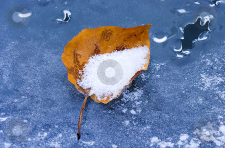 Remnants of Autumn stock photo, A cottonwood leaf frozen into the ice forming along the Tieton River, a skiff of fresh snow fills the leaf and dusts the ice surface by Mike Dawson