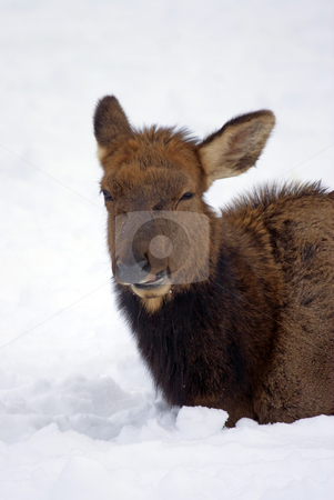 Anything but Snow stock photo, A cow elk seems to be tired of eating snow, at least the facial expression might lead me to beleive that. by Mike Dawson