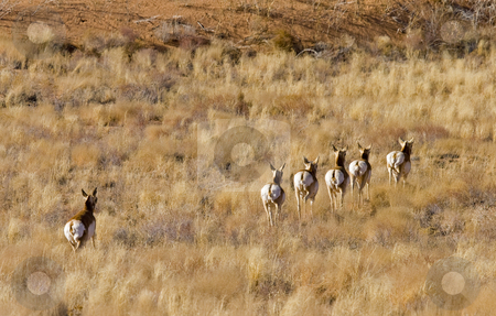 Showing their Tailfeathers stock photo, A pronghorn Antelope herd turns tail and runs from the photographer. by Mike Dawson