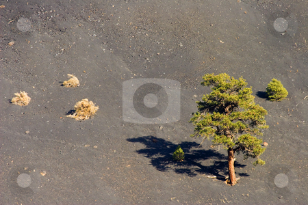 A Tough Neighborhood stock photo, A couple of pines struggle for life on the slopes of Sunset Crater amidst the slope of cinders near Flagstaff, Arizona. by Mike Dawson