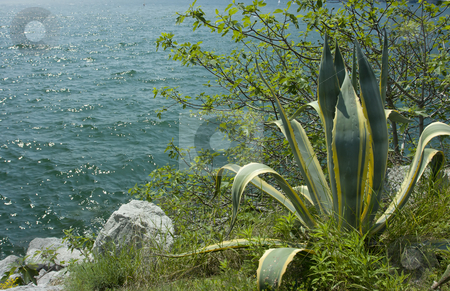 Aloe stock photo, Big aloe plant on a steep bank over azure water of Garda Lake by Natalia Macheda