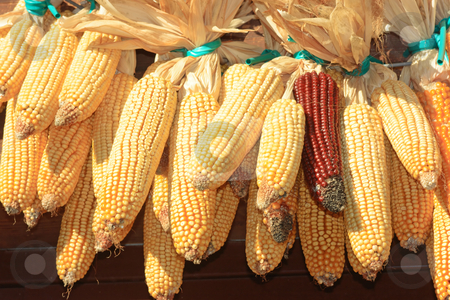 Maize stock stock photo, Maize ears stored for winter. One red among many yellows by Natalia Macheda