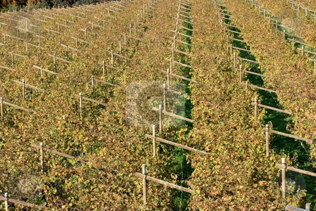 Autumnal Vineyard pattern stock photo, Pattern of rows of angles and vines in autumn after harves. Typical trentino landscape by Natalia Macheda