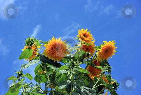 Yellow sunflowers agains blue sky stock photo, Yellow sunflowers agains blue sky by Natalia Macheda