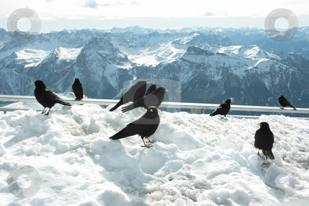 Blackbirds stock photo, Group of blackbirds taking sun in mountain (Dolomites view on horizon) by Natalia Macheda