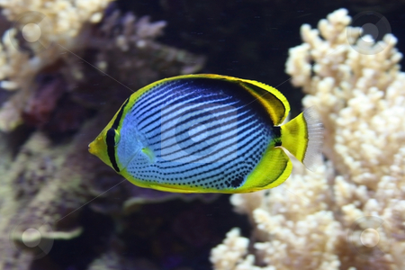 Butterfly fish stock photo, Black backed butterfly fish among colorful corals by Natalia Macheda