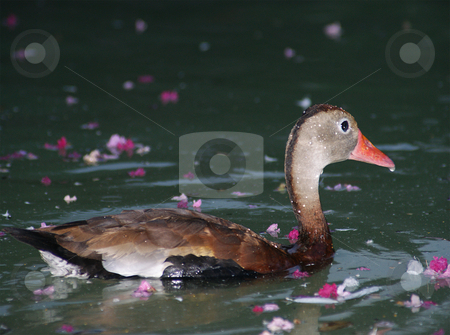 Female duck stock photo, A female duck swimming in water with flowers by Sam Sapp