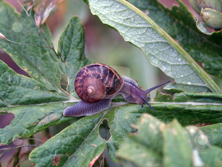 Large snail eating leaf on commercial artichoke stock photo, Snail on leaf of artichoke plant in commercial field by Jeff Cleveland
