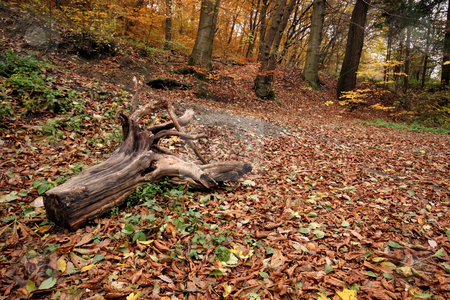 Hiking trail in autumn colors in the forest stock photo, autumn colors in the forest by Fesus Robert