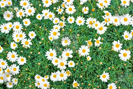 Camomile meadow stock photo, A fragment of camomile meadow by Natalia Macheda
