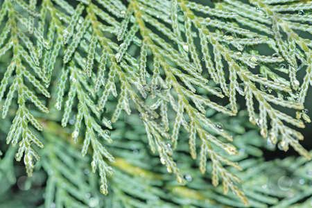 Cypress close-up stock photo, Close-up of cypress branch with water droplets by Natalia Macheda