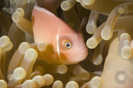 Pink Anemonefish stock photo, Pink Anemonefish (Amphiprion perideraion) peeking out from the safety and security of its anemone home. by A Cotton Photo