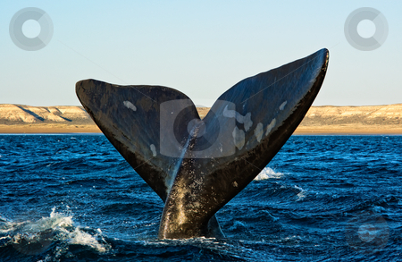 Southern Right whale in Peninsula Valdes, Patagonia, Argentina. stock photo, Right whale in Puerto Piramides, Peninsula Valdes, Patagonia, Argentina. by Pablo Caridad