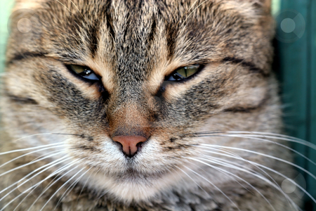 Cat face close-up stock photo, Cat in outdoor by Fesus Robert