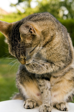 Cat cleaning stock photo, Cat in outdoor by Fesus Robert