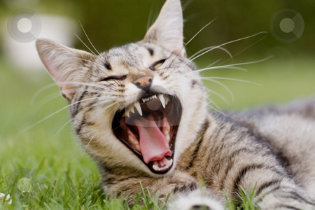 Cat yawning stock photo, Cat in outdoor by Fesus Robert
