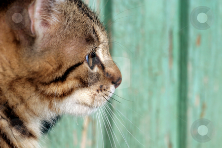 Profile of cat stock photo, Cat in outdoor by Fesus Robert