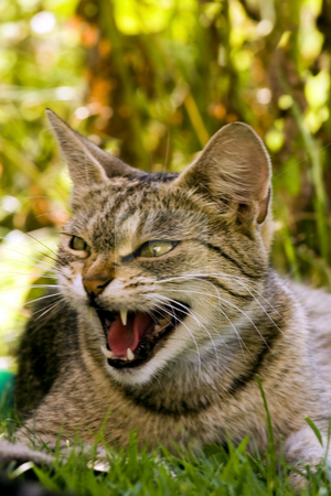 Snarling cat stock photo, Cat in outdoor hissing by Fesus Robert