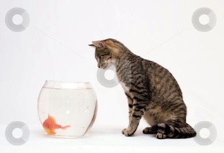 Home cat and a gold fish stock photo, Home cat and a gold fish by Fesus Robert