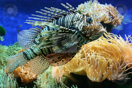 Lion-fish stock photo, Poisonous lion fish (aka turkey-fish, scorpion-fish) among colorful corals by Natalia Macheda
