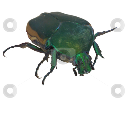 Green Fruit Beetle stock photo, Green Fruit Beetle on Magnolia tree flower showing irridescent coloring by Joseph Ligori