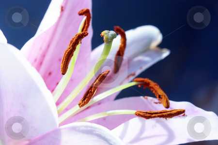 Lily stock photo, Close-up of lily flower with the focus on stamen in white fluorescent lamp mode by Natalia Macheda