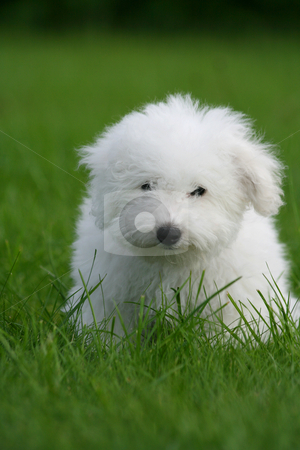 Lovely puppy stock photo, A cute bichon frise puppy, in the grass by Tilo
