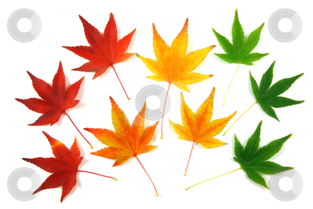 Autumn leaves stock photo, Set of Japanese Maple leaves, gradation over a white background by Tilo
