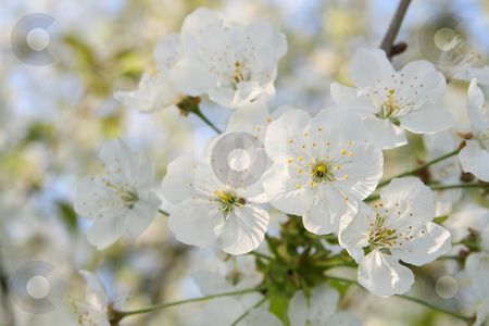 Blooming stock photo, Blooming tree in spring, a delicate background by Tilo
