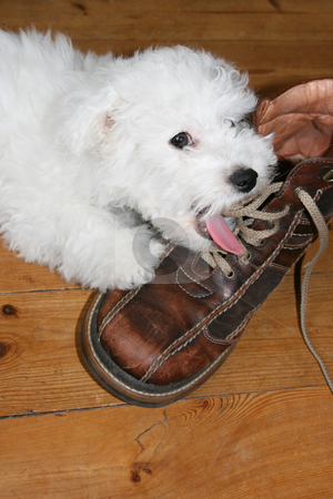 Licking puppy stock photo, Naughty puppy licking shoelaces (bichon frise) by Tilo