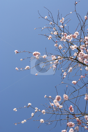 Tree in blossom stock photo, Beautiful tree in blossom, against a blue sky (vertical) by Tilo