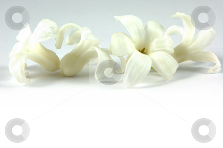 Spring header stock photo, Hyacinth header for spring, on a white background by Tilo