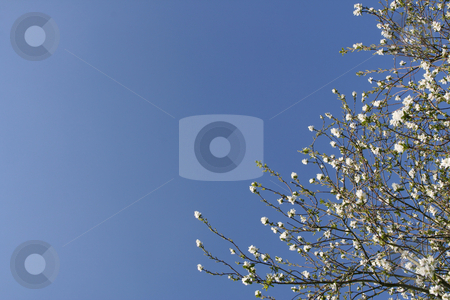 Shrub with white flowers stock photo, Shrub with white flowers over a shaded blue sky (horizontal) by Tilo