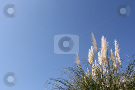 Pampas grass stock photo, Pampas grass (Cortaderia selloana) over a shaded blue sky (horizontal) by Tilo