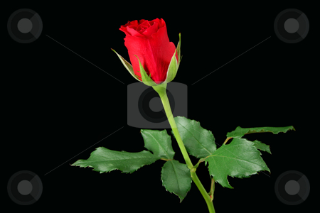 Red rose isolated on black stock photo, Red rose isolated on black by Tilo