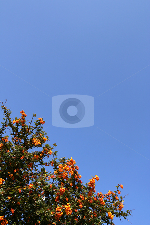 Shrub with red berries stock photo, Shrub with red berries over a shaded blue sky (vertical) by Tilo